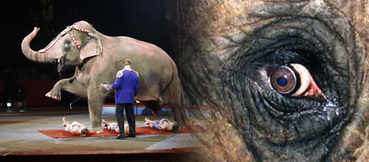 Nei til sirkuselefanter!